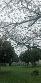 南砂町の桜