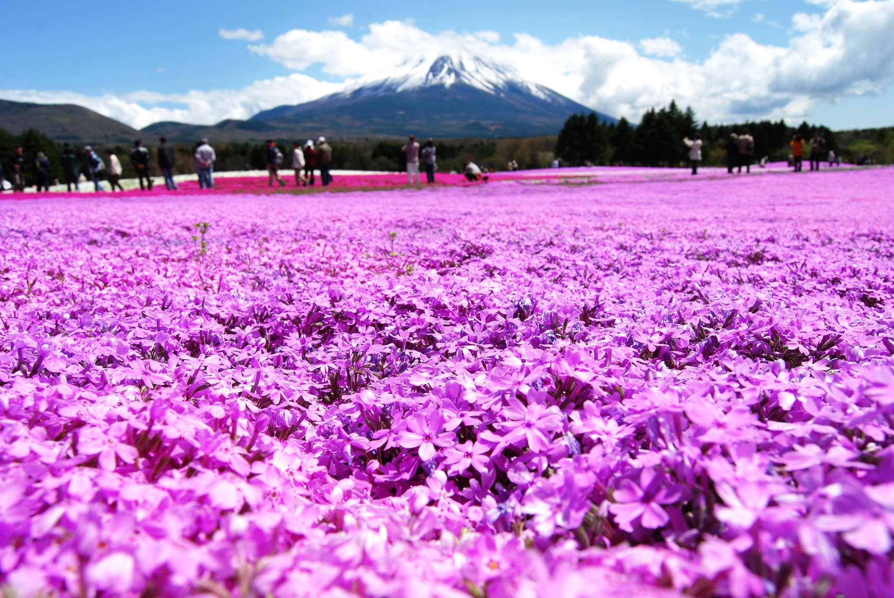 「富士芝桜 フリー写真」の画像検索結果