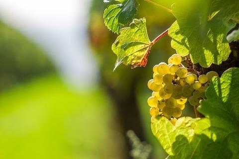 grape-970461_640