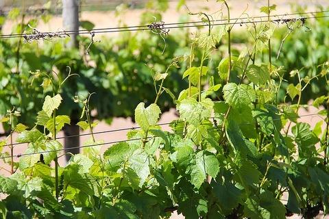 vineyard-1219175_640