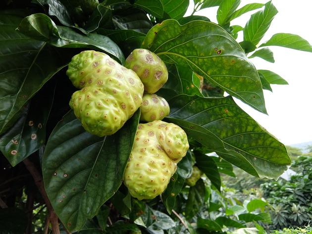 ハワイ島でよく見る謎の木の実