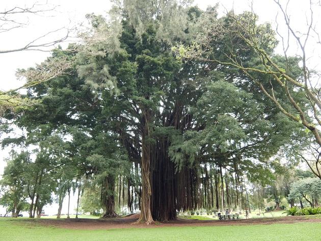 そのスイサンから数メートル行ったところの公園に大木があるので必見です!