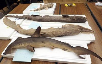 テーブルの上に並べられたサメ