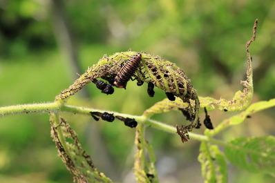 カメノコテントウの幼虫とクルミハムシの蛹