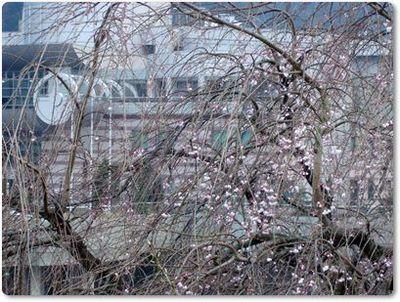しだれ桜2009