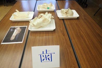 歯の違いを見るための頭蓋骨標本