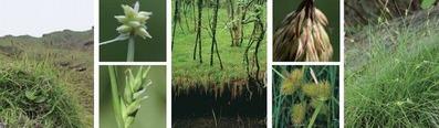 日本のスゲ 勢ぞろい —撮って集めた269種!—
