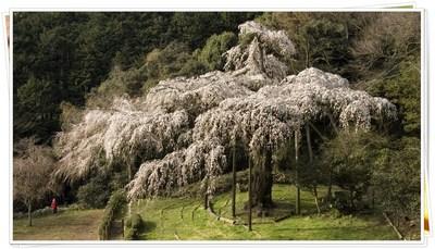 2009年4月3日長興山しだれ桜
