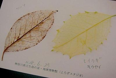 完成標本に葉の名前を書く