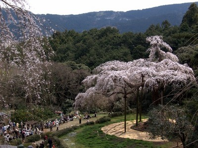 長興山枝垂れ桜