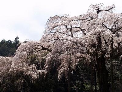 長興山しだれ桜(20090331)