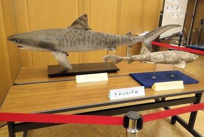 イタチザメとナヌカザメの標本