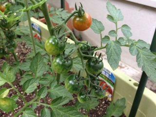 tomato6-29