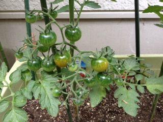 tomato6-29-2