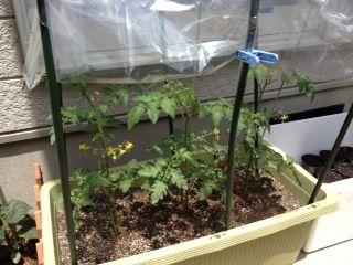 tomato5-30