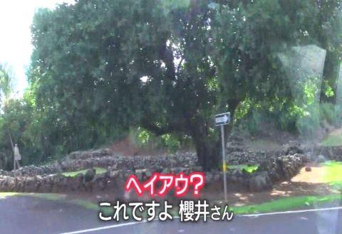 sakuraiHAWAI11