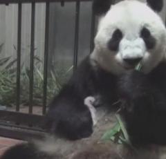 上野動物園の赤ちゃんパンダ、メスと判明