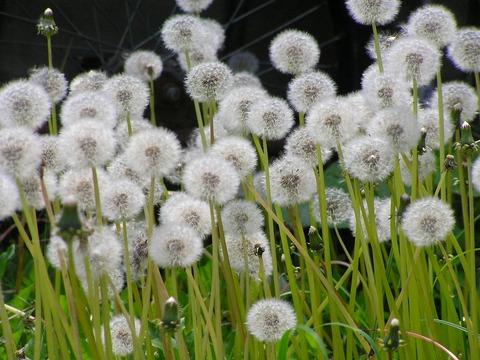 タンポポの種(綿毛)北海道6200416