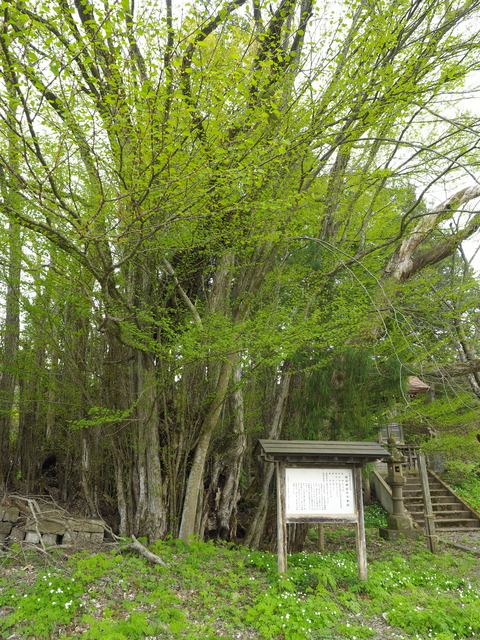 花巻市大迫町、稲荷神社の千本カツラは樹齢400年から500年
