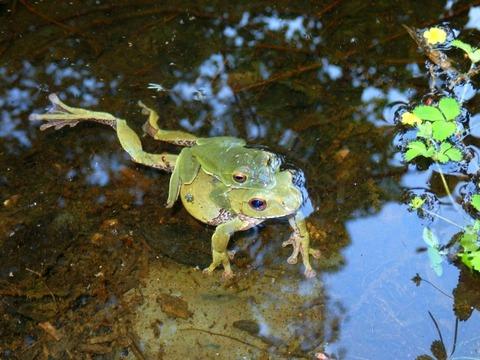カエルをおんぶするかわいい画像