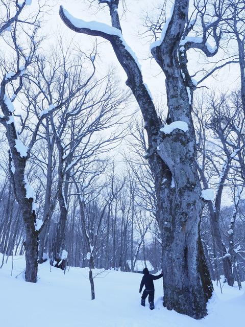 ブナの巨木の傍らに立つ