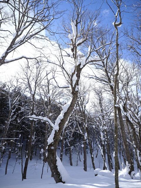 雪の重みで曲がったり、倒れたりした木が目立つ