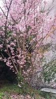 河津桜2020