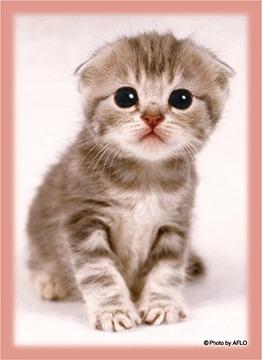 ハイブリッドスリーブ 猫「スコティッシュ・フォールド」リバイバル