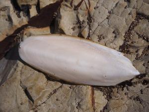 イカの貝殻01