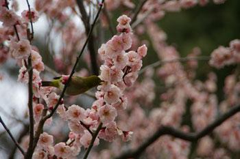 横浜大倉山の観梅会の梅とメジロ