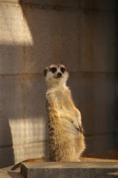 夢見ヶ崎動物公園のミーアキャット