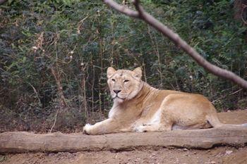 横浜市旭区にある動物園「ズーラシア」のライオン