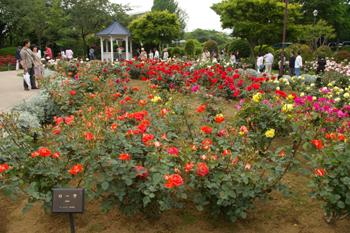 横浜山手の港の見える丘公園のローズガーデン