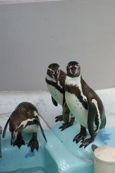 横浜日ノ出町「野毛山動物園」のペンギン