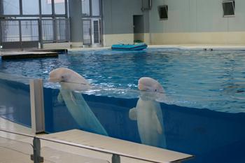 横浜・八景島シーパラダイスの白イルカ