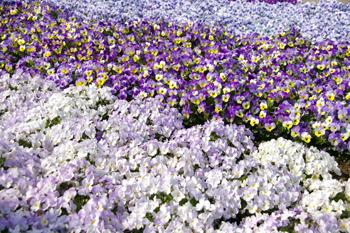 フラワーガーデン in 横浜赤レンガ倉庫の花畑
