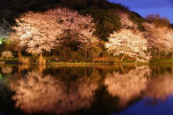 横浜三渓園のライトアップされた桜