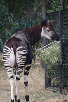 横浜市旭区にある動物園「ズーラシア」のオカピ