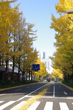 横浜山下公園前の銀杏並木