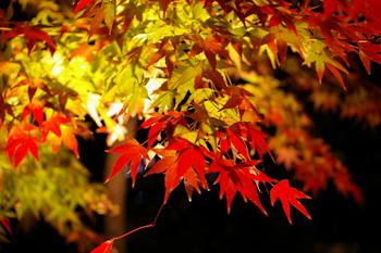 鎌倉「長谷寺」のライトアップされた紅葉1
