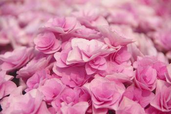 横浜八景島シーパラダイスのピンクのあじさい