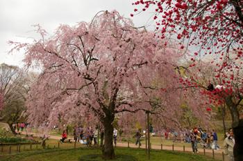 県立三ツ池公園の枝垂れ桜