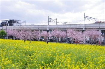 横浜川和町に咲く菜の花と桜