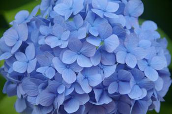 横浜八景島シーパラダイスの青いあじさい