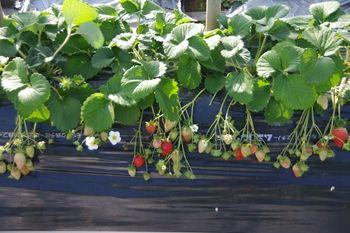 横須賀にある津久井浜観光農園のイチゴ畑