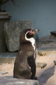 夢見ヶ崎動物公園のペンギン