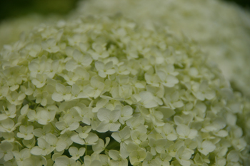 横浜八景島シーパラダイスの白いあじさい