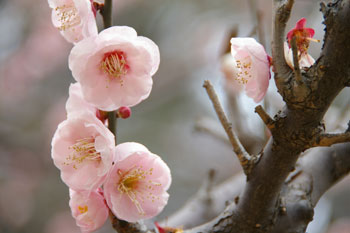 横浜大倉山の観梅会の梅