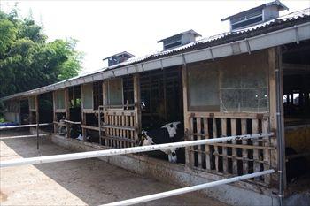横浜市瀬谷区にある「オーガスタミルクファーム」の牧場