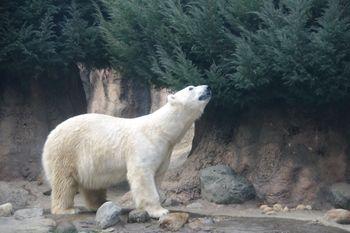 横浜市旭区にある動物園「ズーラシア」のホッキョクグマ